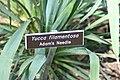 Yucca filamentosa 16zz.jpg