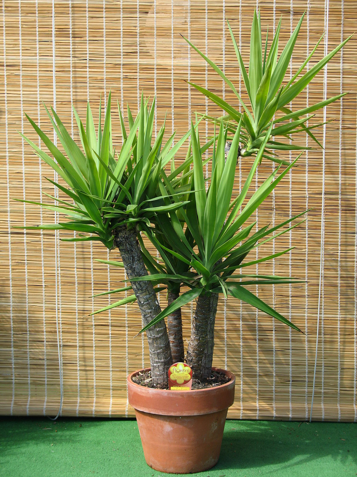 Yucca gloriosa in clay pot.jpg