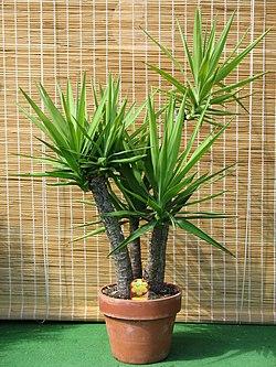 yucca wikipedia la enciclopedia libre