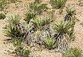 Yucca schidigera 9.jpg
