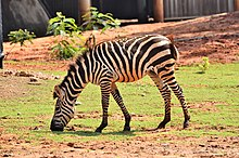 Zebra and Grass.jpg