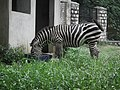 Zebra from Bannerghatta National Park 8642.JPG