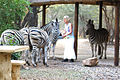Zebras vor dem Haus.jpg