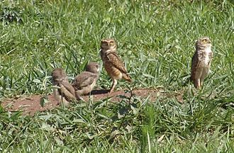 Burrowing owl - A family of burrowing owls.
