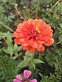 Zinnia multiple layers Petal Red 1.jpg