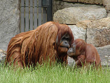 Due oranghi dello Zoo di Berlino.