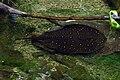 Zoo Beauval 12 06 2010 19 Potamotrygon motoro.jpg