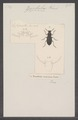 Zophobas - Print - Iconographia Zoologica - Special Collections University of Amsterdam - UBAINV0274 027 43 0004.tif