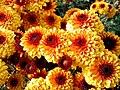 """""""бал хризантем"""" в Нікітському ботанічному саді, 3.jpg"""