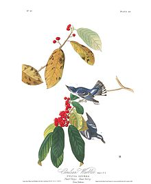 """Azure Warbler"" in Birds of America"