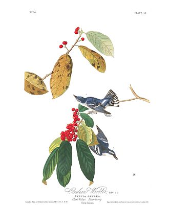 "Cerulean warbler - ""Azure Warbler"" in Birds of America"