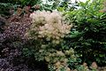 'Cotinus coggygria' smoke tree in Arboretum of Goodnestone Park Kent England 5.jpg