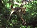 (1)Wollondilly River feral dog in trap.jpg