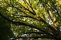 (3) Віття дуба крупноплідного на вул. 28 Червня, 71, м. Чернівці. Знято на світанку.jpg