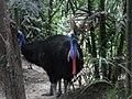 Đà điểu đầu mào trong vườn thú ở Thái Lan.JPG