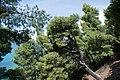 Χαλκιδική, Σιθωνία, Ελιά - panoramio (12).jpg