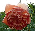 Англійська троянда Д.Остіна Pat Austin.jpg