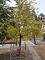 Братська могила, дерево на спадок, Пісочин.jpg