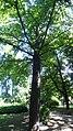 Гинко, Ботаничка башта Јевремовац, 01.JPG