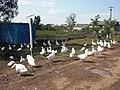 Жители Орловки разводят гусей.jpg