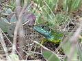 Зелена ящірка.jpg