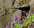 Квітки рясту на скелях Коцюбинського P1350419.jpg