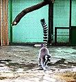 Київський зоопарк Лемури котячі 04.JPG