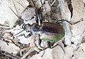 Красотел Бронзовый Calosoma inquisitor (27072998527).jpg