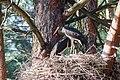 Лелека чорний молодняк у гнізді.jpg