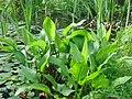 Полуводное растение.jpg
