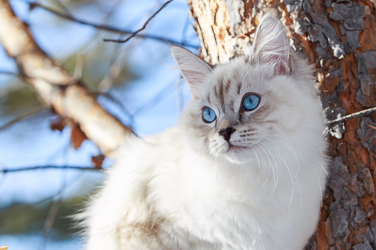 Порода кошек британская маскарадная thumbnail