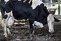 פרות במצב תשישות בעקבות חליבות אינסופיות ועיוותים גנטיים.jpg