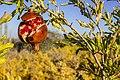 انار-باغ انار-Pomegranate-Pomegranate garden 01.jpg