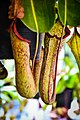 หม้อข้าวหม้อแกงลิง tropical pitcher plants Genus Nepenthes Photographed by Trisorn Triboon 05.jpg