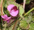 シオガマギク Pedicularis resupinata subsp. oppositifolia flower s2.JPG