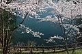 吉野運動公園にて Cherry trees in Yoshino Sports Park 2014.4.08 - panoramio.jpg