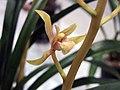 報歲中國牛 Cymbidium sinense -香港沙田國蘭展 Shatin Orchid Show, Hong Kong- (12204800153).jpg
