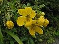 多葉決明 Cassia polyphylla -香港嘉道理農場 Kadoorie Farm, Hong Kong- (9216084298).jpg