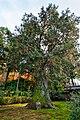 大智寺 (岐阜市)-樹齢約700年の大ヒノキdaichiji008.jpg
