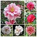山茶花 Camellia japonica cultivars 1 -日本京都植物園 Kyoto Botanical Garden, Japan- (26727402027).jpg