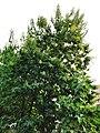 柚木 Tectona grandis 20200922091200 01.jpg