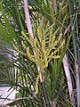 瓔珞椰子 Chamaedorea cataractarum -濟南泉城公園 Jinan, China- (9216099756).jpg