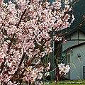 立川渡郵便局付近の桜の花 Cherry blossoms at Tatekawado 2012.4.02 - panoramio.jpg