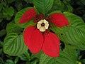 紅葉金花(红纸扇) Mussaenda erythrophylla -香港青衣公園 Tsing Yi Park, Hong Kong- (9252464669).jpg