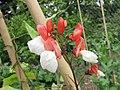 荷包豆(花豆) Phaseolus coccineus Painted Lady -比利時 Ghent University Botanical Garden, Belgium- (9255188660).jpg
