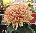 菊花-寶幸唐衣錦 Chrysanthemum morifolium -中山小欖菊花會 Xiaolan Chrysanthemum Show, China- (11961464293).jpg