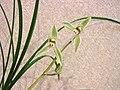 蓮瓣色花 Cymbidium lianpan 'Coloured' -香港沙田國蘭展 Shatin Orchid Show, Hong Kong- (12712611265).jpg