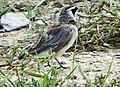 角百靈 Eremophila alpestris, Qinghai 2.jpg