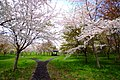 豊平川桜の杜 (Toyohira River Forest cherry) - panoramio (2).jpg