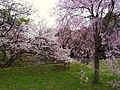 道灌濠の桜.jpg